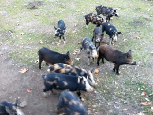 Sounder of wild pigs at Las Viboras, 2014. Courtesy of the artist and the Sparling Family.