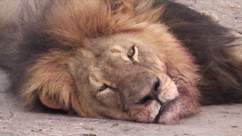 cecil-the-lion21