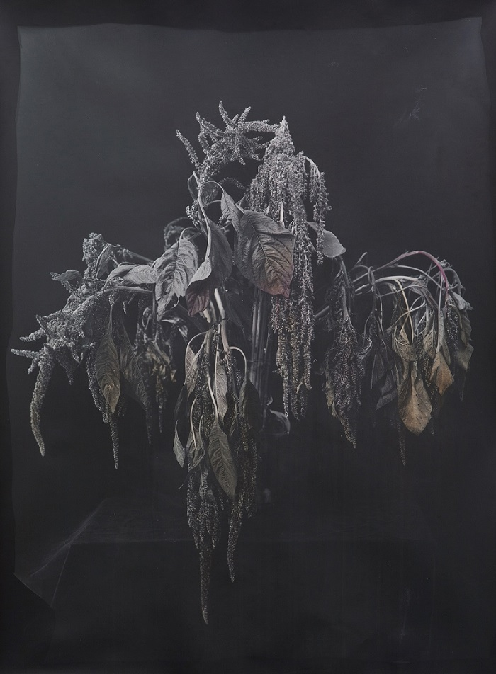 Amaranth, 2016. Silver gelatin print colored with amaranth, 30 x 40 inches. Edition of 3 + 2AP. Courtesy of Gallery Wendi Norris.